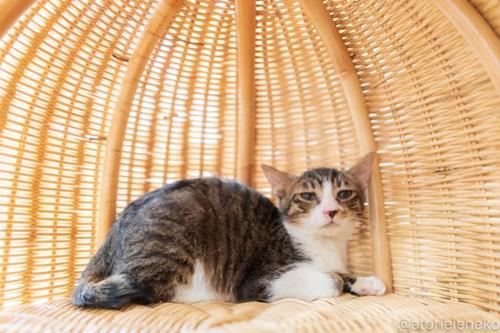 アトリエイエネコ Cat Photographer 46193384422_662e5f438a 1日1猫!高槻ねこのおうち  里活中のコロンちゃん♫ 1日1猫!  高槻ねこのおうち 里親募集 猫 子猫 保護猫 ねこ sheltercat sheltercar photo Kitten Cute cat