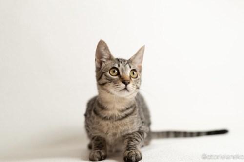 アトリエイエネコ Cat Photographer 44567970584_b4973c8fe2 1日1猫!おおさかねこ倶楽部 里活中の華ちゃんです♪ 1日1猫!  里親様募集中 猫写真 猫カフェ 猫 子猫 大阪 写真 保護猫カフェ 保護猫 ニャンとぴあ スマホ キジ猫 カメラ おおさかねこ倶楽部 Kitten Cute cat