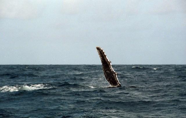 Whale Fin Slap