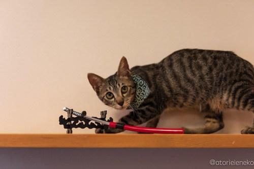 アトリエイエネコ Cat Photographer 45099990662_4de5c4b923 1日1猫! CaraCatCafeさん殿様募集中の助さん!(3/3) 1日1猫!  里親様募集中 箕面 猫 子猫 大阪 初心者 写真 保護猫カフェ 保護猫 ハチワレ キジ猫 カメラ Cute cat caracatcafe