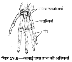 UP Board Solutions for Class 10 Home Science Chapter 17 मानव अस्थि-संस्थान तथा सन्धियाँ 6
