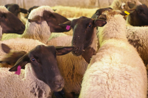 sheepies