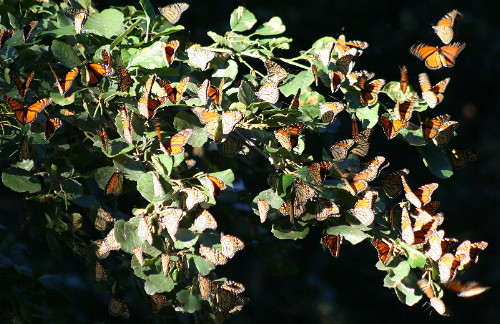 Monarchs at migrant trap
