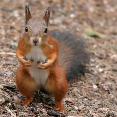 Finnish red squirrel(professional model!)