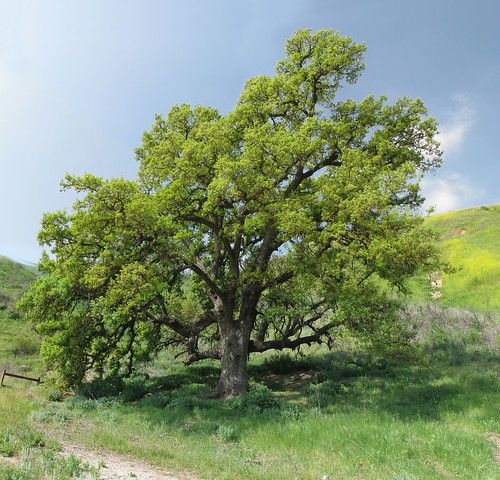 Oak Photomerge Small