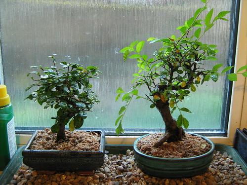 bonsai 11th april 10