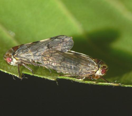 Leafhoppers (Oncopsis sp.)