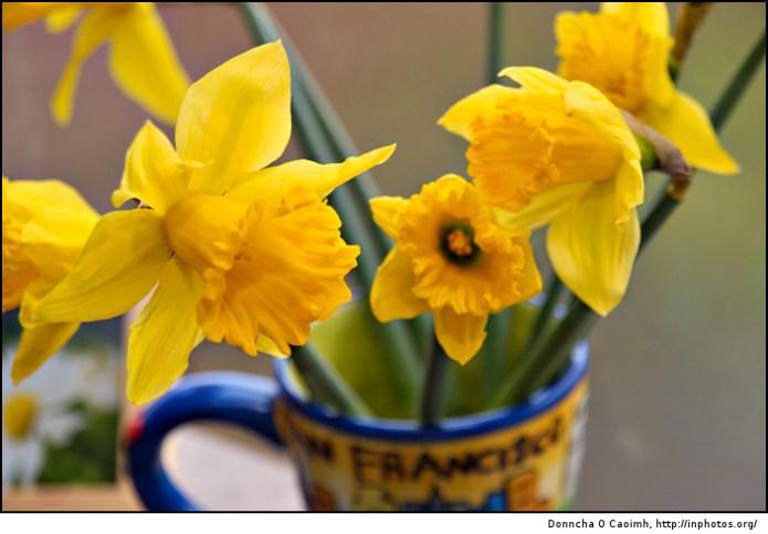 Charity Daffodils