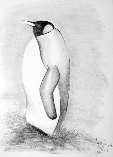 Manchot royal - King Penguin