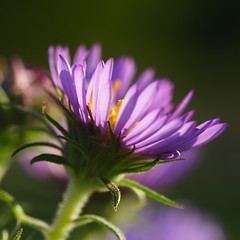 Aster in the Sun