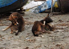 Stray Dogs (plus a few fleas!) on Beach in Kerala