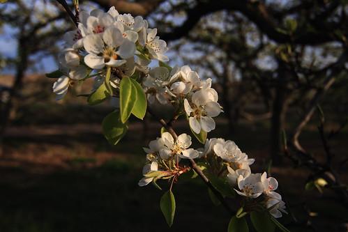 Flores en frutal
