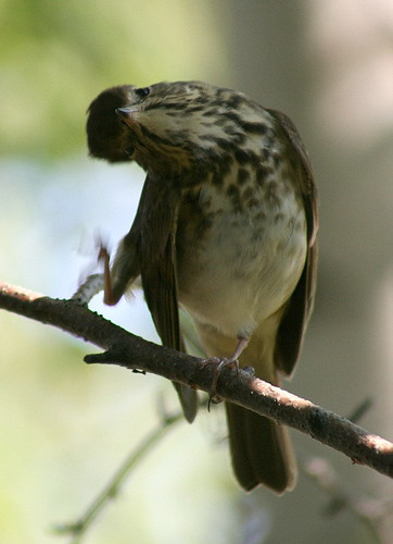 Hermit Thrush itching