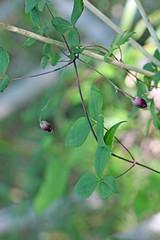 新治市民の森のハンショウヅル(Flower, Niiharu Community Woods, Yokohama, Kanagawa, Japan, 2011)