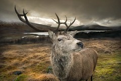 Red Deer Scotland
