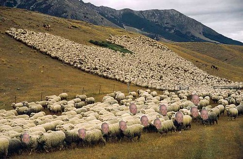 many-sheep.jpg