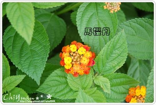 DSC_9426馬櫻丹