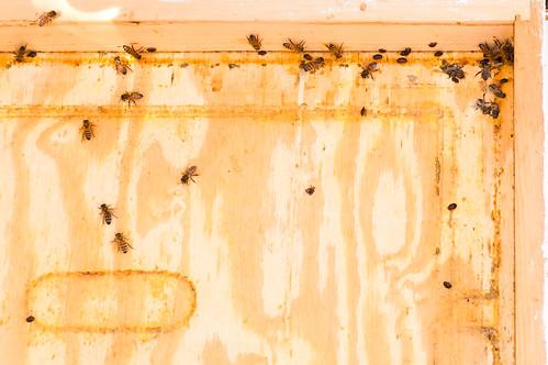 Hive beetles everywhere