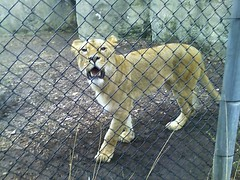 Lion at the Indy Zoo