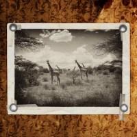 El enigma sobre el alargamiento del cuello de las jirafas
