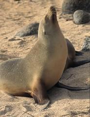 Galapagos sea lion, Galápagos Islands, Ecuador