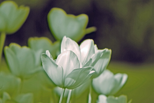 white tulip, istanbul tulip festival, istanbul, pentax k10d