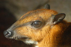 Larger Malayan Chevrotain (Tragulus napu)