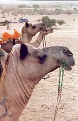 Dromadaires pres de Jaisalmer, radjasthan