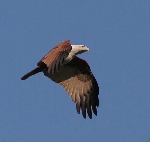 brahminy kite going up!