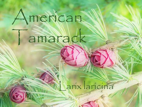 American Tamarack