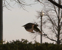 Juvenile Red-Tailed Hawk flying away in disgust
