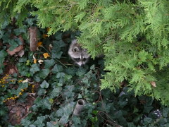 Forlorn and hungry raccoon