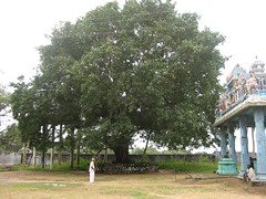 Big Tree inside the Temple Complex