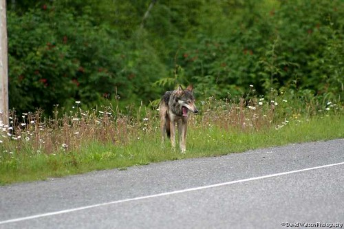 wolf along road