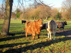 Cattle At Syon Park, Brentford, London.