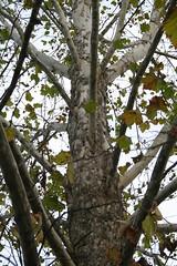 American Sycamore Bark