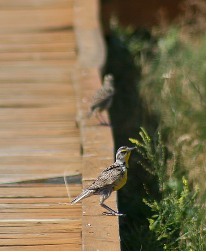 Western Meadowlark, Badlands National Park, SD