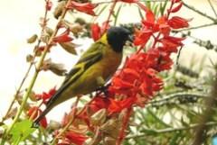Pintassilgo-macho(Carduelis magellanica)