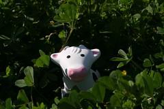Hiding Cow