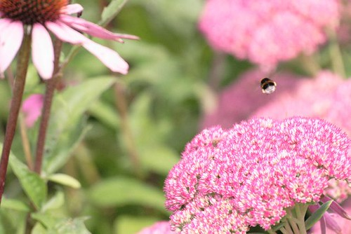 Bee in a Sea of Pink and Green
