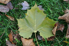 American Sycamore Leaf
