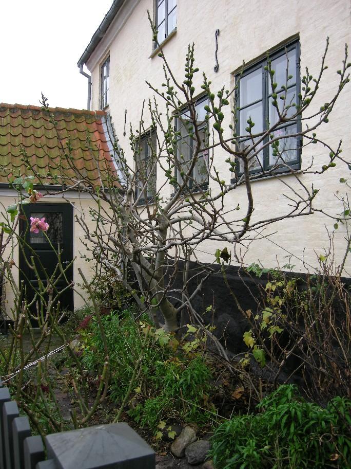 Fig tree in Dragør