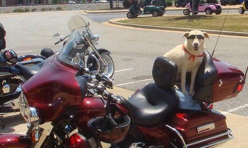 Baby Rides a Harley