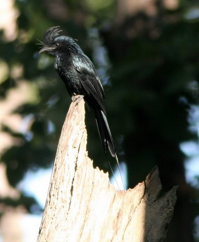 racket-tailed drongo and no tail...