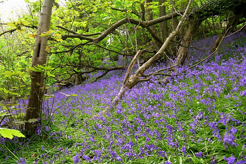 bluebells_brakey bank_20040501_01.JPG