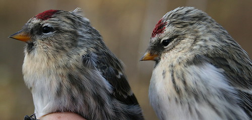 Common and Hoary Redpoll