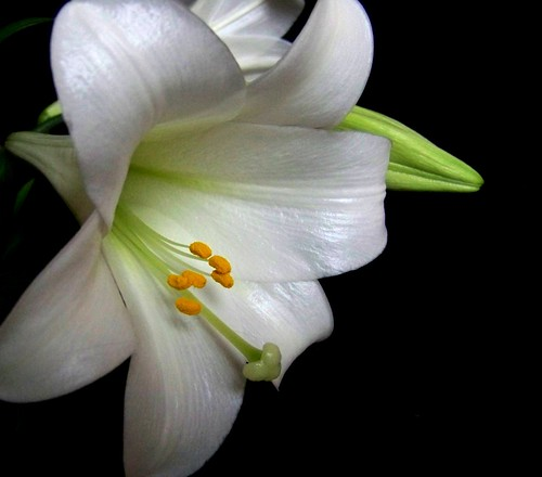 The Lonely Lilly...