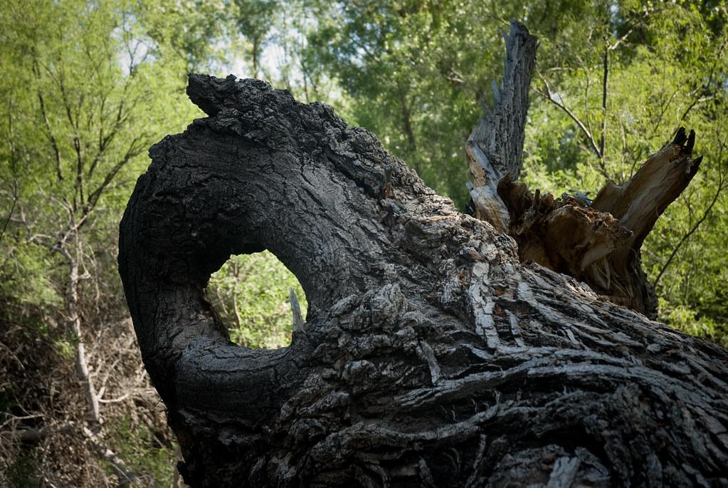 stricken tree 2-120080424