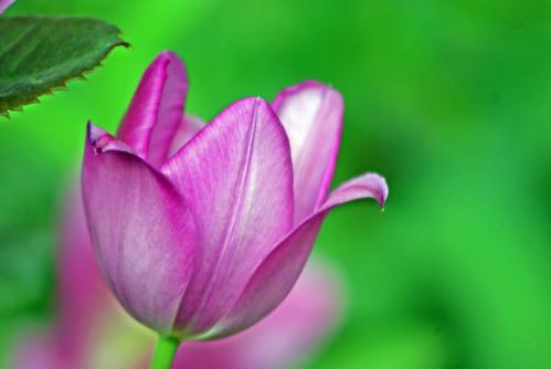 purple tulip, istanbul tulip festival, istanbul, pentax k10d