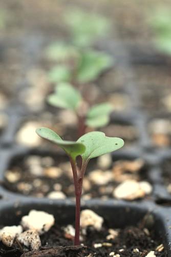 baby kohlrabi plants